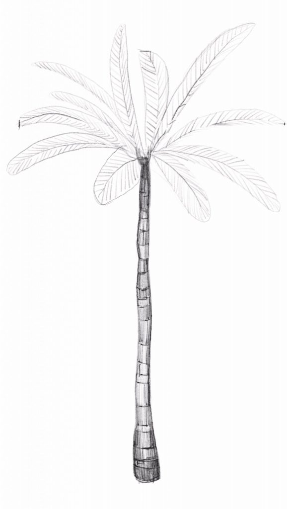 Sketch the leaflets of the palm tree leave