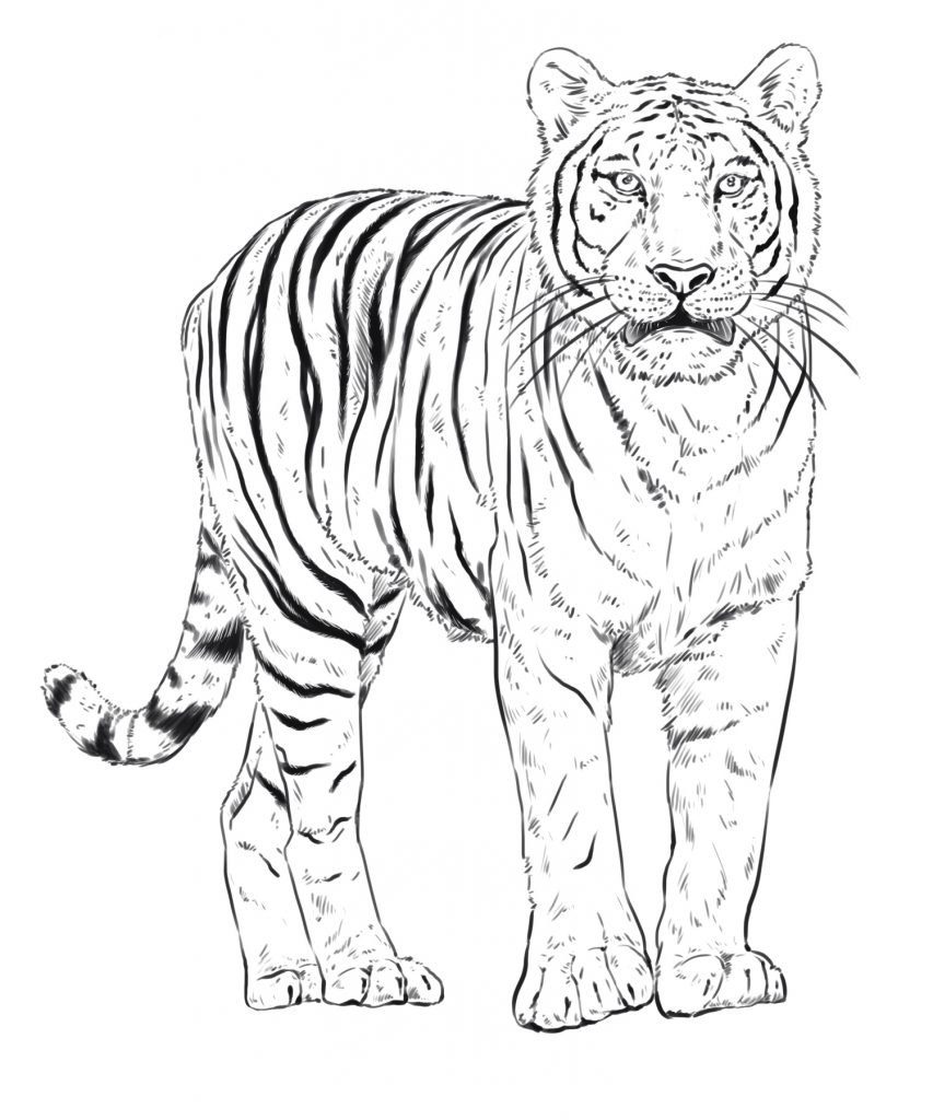 The Tiger You'll Be Drawing