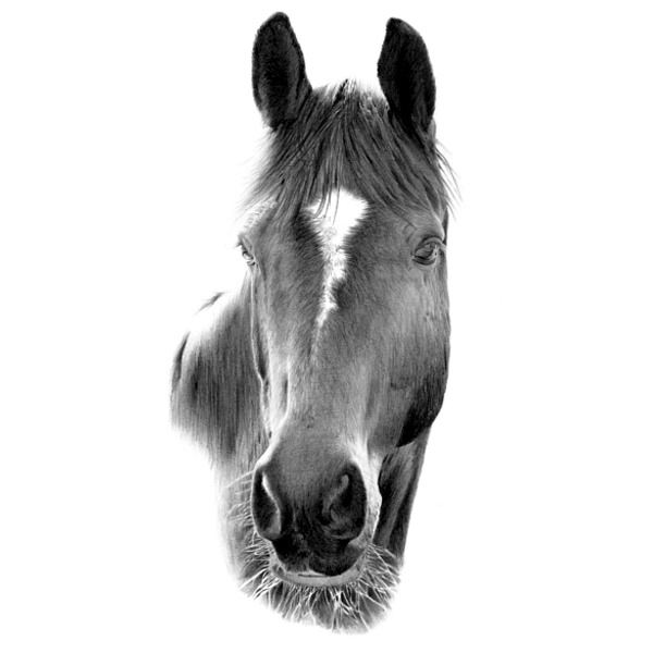 Pencil Portrait of a Horse