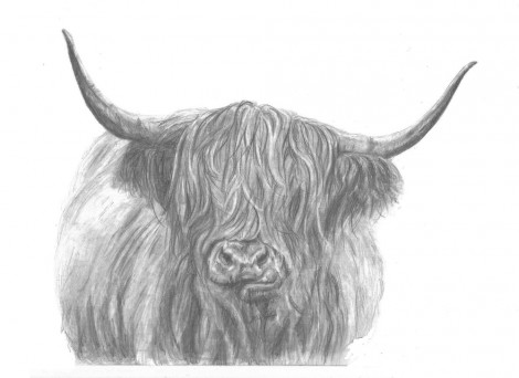 Highland Cow Chewing Wildlife Signed Print