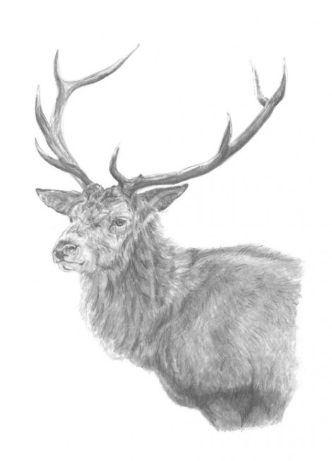 Stag Wildlife Signed Print