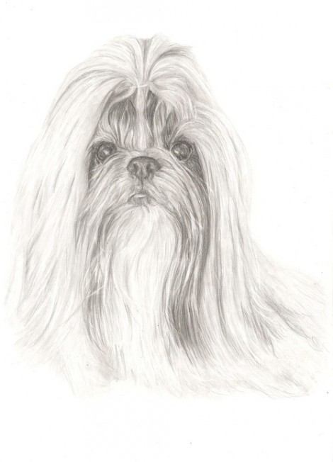 Shih Tzu Dog Signed Print