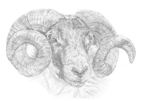 Ram  Sheep Wildlife Signed Print