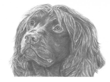 Field Spaniel Dog Signed Print