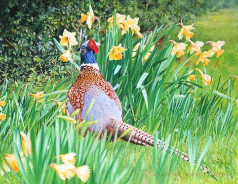 Ring Neck Pheasant  Daffodils